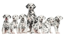 Thumbnail Image for Genetic Testing and Designer Dogs