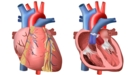 Thumbnail Image for Heart and Circulation: Outside and Inside